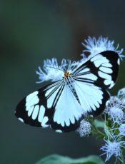 Motylek